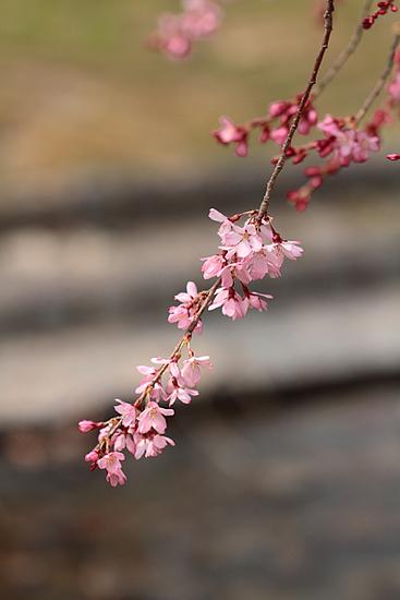 桜20110402