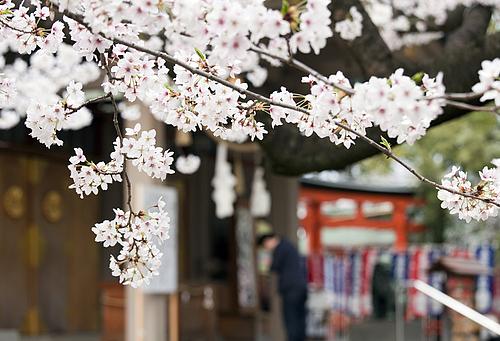 高津宮の桜と参拝者