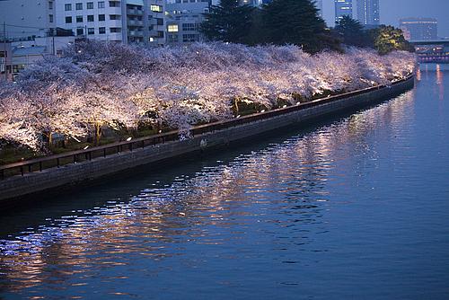 天満橋からみる桜