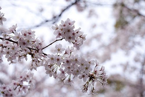 高津宮の桜2012