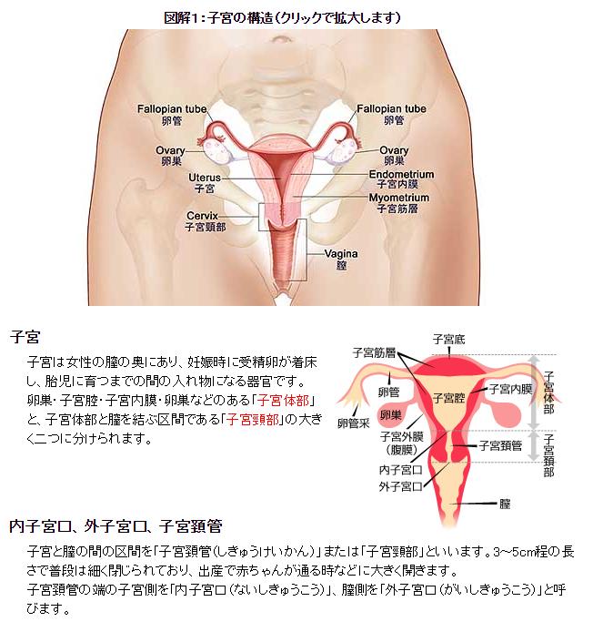 子宮内部の構造−図解・解説/【生理がこない原因と対策】