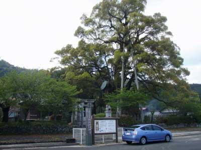 本庄の大樟