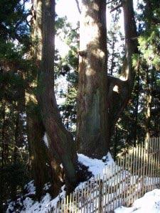 岳城若杉米の山大和の大杉