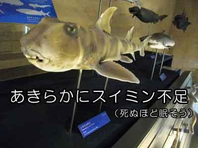 シマネコザメ