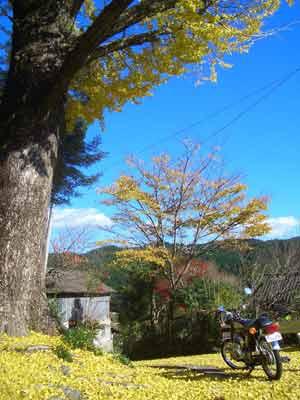 イチョウの大木