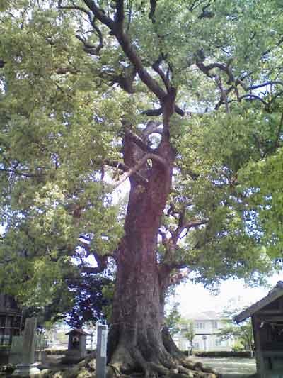 松尾神社の大楠