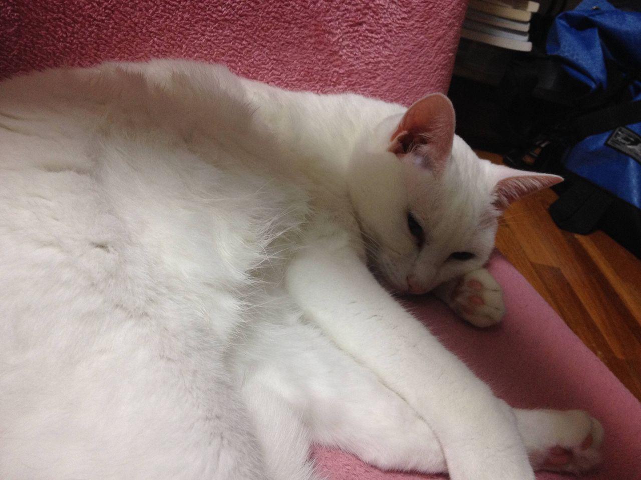 【画像】もふもふの猫の腹に顔うずめたら