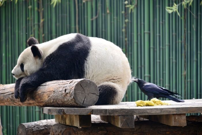 巣作り中のカラスさん、パンダから毛を抜き取るwwww