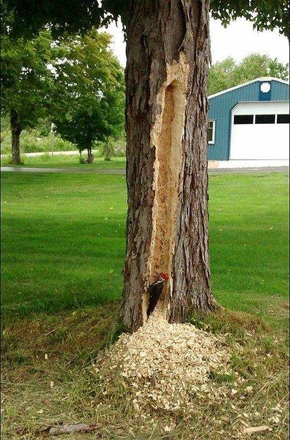 【速報】木をつつきまくるキツツキが発見される