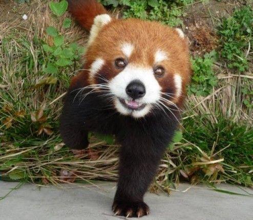 【画像】レッサーパンダの赤ちゃん、可愛すぎる