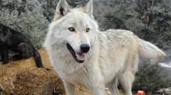 オオカミ犬2頭、飼育施設から逃げる 長野・富士見町