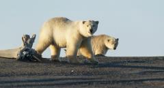ホッキョクグマ、気候変動で絶滅の恐れ... しかし、新種のクマが出現!