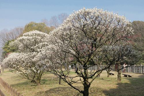荒山公園の梅