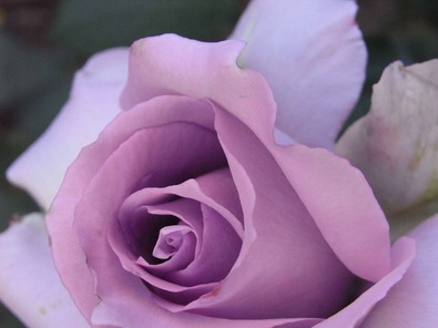 RIMG0288紫のバラ