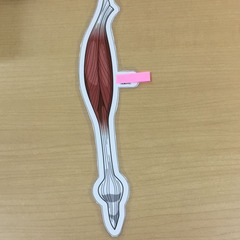 A57-2大腿直筋