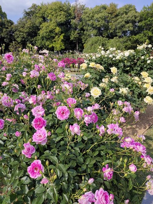 敷島公園でバラを見てきました