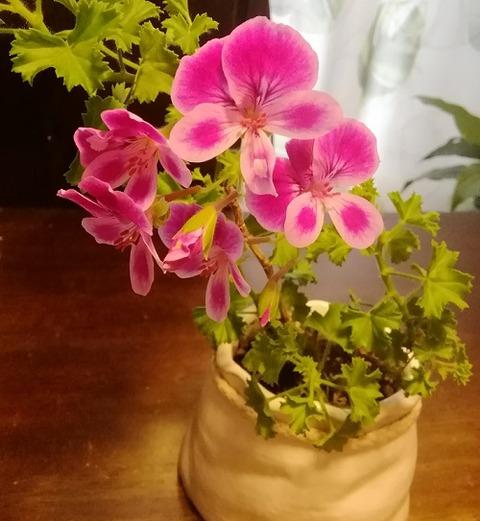 ペラルゴニウムの二世が開花!