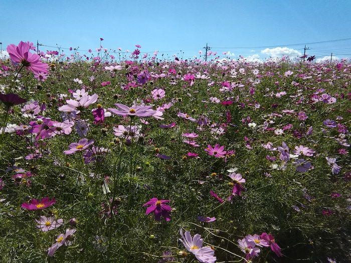 鼻高展望花の丘で花まつりが開催中!