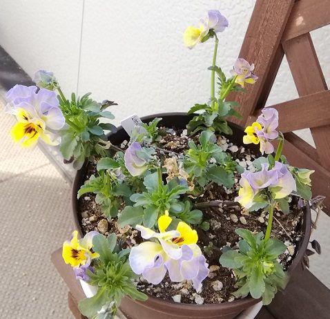 気が付いたらたくさん咲いていました