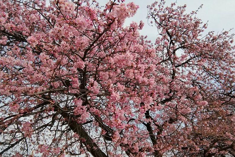 河津桜が見頃でした
