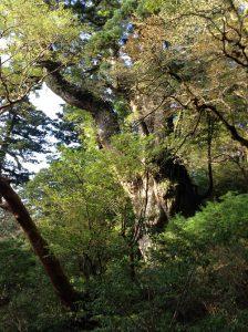屋久島の縄文杉を見に行ってきました