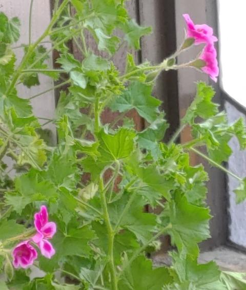 エンジェルアイズ、今年はしっかり咲きました