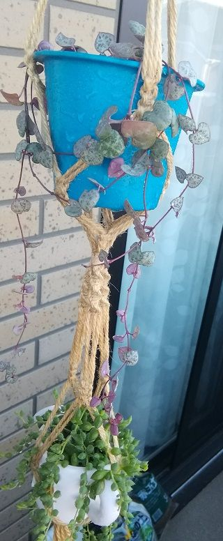 ハートカズラの花が咲きました