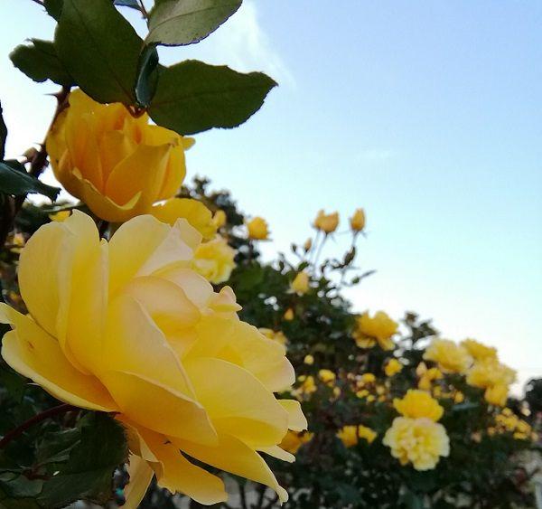 秋薔薇が見頃です。
