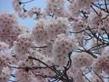 晴れ間と桜