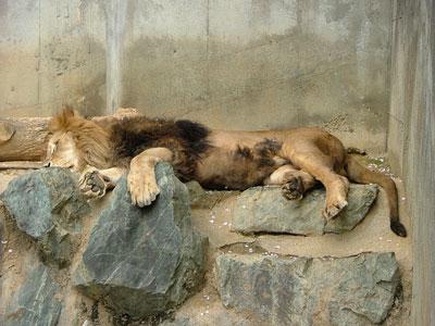 肉球が可愛いライオンさん