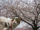 ピートと桜
