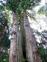 大迫力の三本杉
