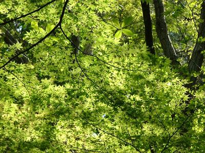 緑色のもみじも綺麗です