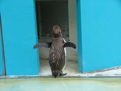 お尻が可愛いペンギンさん
