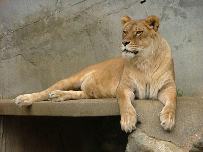 お腹にチャックのようなものがあるライオンさん