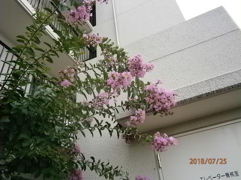 ピンクの百日紅全体18.7.25