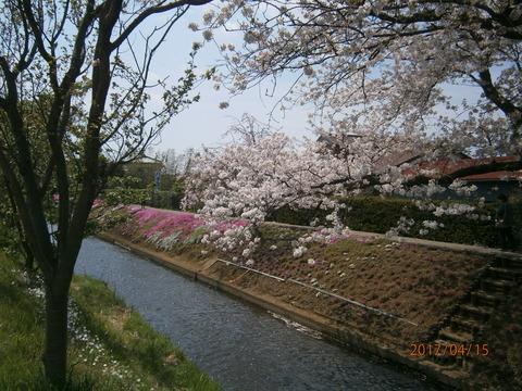 芝桜1・17.4.15