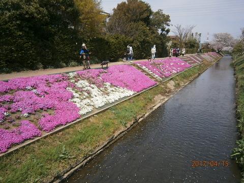 芝桜3・17.4.15