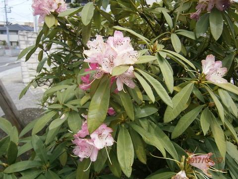 近所の石楠花17.4.27