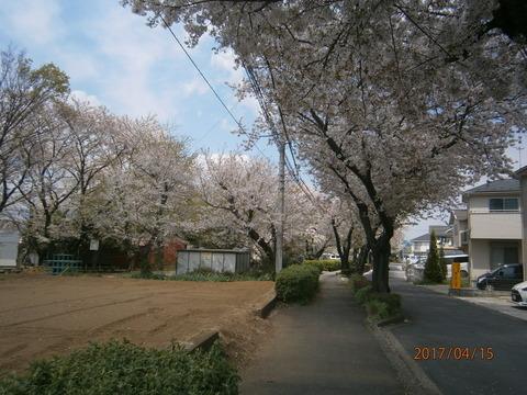 境界道の桜2・17.4.15