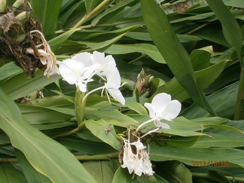 ジンジャー(しょうがの花)