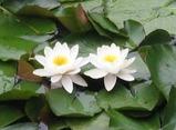 14姥が池の蓮の花