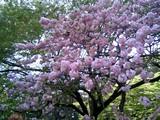 24本丸の桜