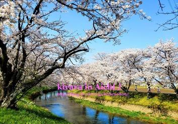 五条川の桜♪