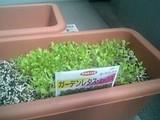 ガーデンレタス成長