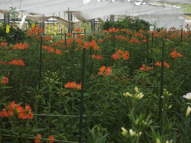 花ギフト|フラワーギフト|誕生日 花|カノシェ話題|スタンド花|ウエディングブーケ|花束|花屋|P8150074