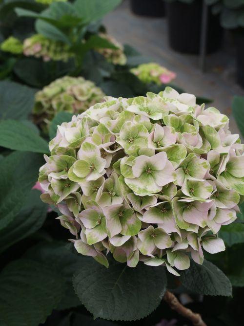 花ギフト|フラワーギフト|誕生日 花|カノシェ話題|スタンド花|ウエディングブーケ|花束|花屋|P6080081