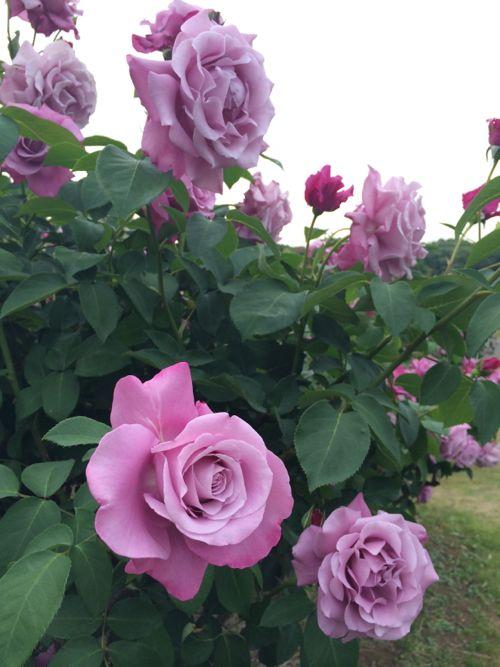 花ギフト|フラワーギフト|誕生日 花|カノシェ話題|スタンド花|ウエディングブーケ|花束|花屋|IMG_5242