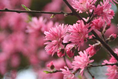 花ギフト|フラワーギフト|誕生日 花|カノシェ話題|スタンド花|ウエディングブーケ|花束|花屋|菊桃2