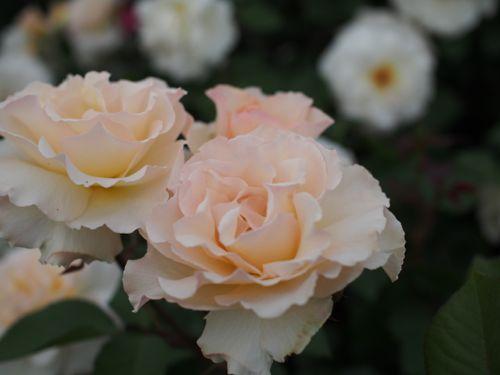 花ギフト|フラワーギフト|誕生日 花|カノシェ話題|スタンド花|ウエディングブーケ|花束|花屋|P1010870